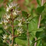 Lawsonia-inermis-henné